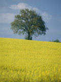 A Scenic View of Bright Yellow Rape Fields with a Single Green Tree at the Top of a Hill