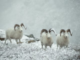 Three Dalls Sheep Look up from a Snowy Ledge