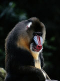 A Portrait of a Captive Mandrill