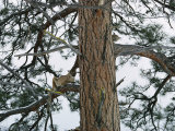 A Mountain Lion Lies on the Branch of a Pine