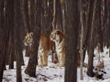 Two Siberian Tigers Survey the Countryside