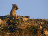 The Late Afternoon Sun Casts an Orange Glow over a Young Arctic Fox