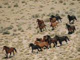 A Herd of Wild Horses Gallops Across the Dry Terrain