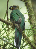 Female Resplendent Quetzal Bearing Food for its Nestlings in a Hollowed Tree