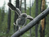 A Great Gray Owlet Uses its Wings for Balance as it Climbs a Tree