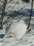 White-Tailed Ptarmigans Blending with the Snow