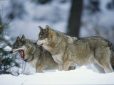 Wolves  Bayerischer Wald National Park  Germany