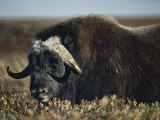 A Muskox