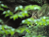 Owl in Woodland  Sachsische Schweiz National Park  Germany