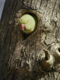 A Rose-Ringed Parakeet Pokes its Head out of a Hole in a Tree Trunk
