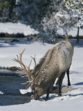 Wapiti Drinks from Pool in Winter  Yellowstone National Park