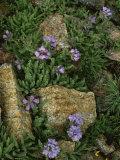 Alpine Wildflowers  Beartooth Wilderness  Wyoming