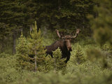 A Bull Moose Stops for a Photograph Near Paint Rock Lakes