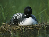 A Loon Shelters a Chick under its Wing as it Sits on its Nest
