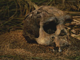 Close View of the Fossilized Skull of a Homo Erectus Found in Java