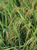 Close View of Rice Plants