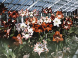 Amaryllis Show at the Botanic Garden