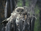 A Great Gray Owl and Owlet in Their Nest  a Rotting Tree Stump