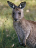A Close View of a Kangaroo