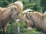 Two Young Bighorn Sheep Come Face to Face