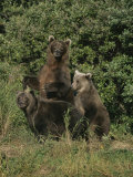 Group Portrait of Three Kodiak Brown Bears on Kodiak Island  Alaska