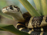 A Close View of a King Cobra Coiled Around a Plant
