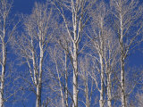 The White Bark of Aspen Trees Contrasts with the Deep Blue Sky