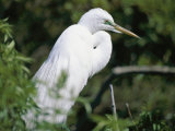 A Snowy Egret at a Rookery Connected to the Saint Augustine Alligator Farm