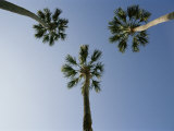 Palm Trees Photographed against a Blue Florida Sky