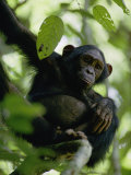 A Chimpanzee in a Tree