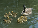 A Mother Canada Goose Watches over Ten Fuzzy Babies as They Swim