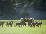 Cow Elk with Calves  Madison River Valley