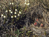 The Lack of Trees Doesnt Deter Lapland Longsupurs  Who Prefer to Make Nests in Tundra Grass