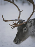 Close View of a Caribous Head