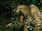 A Jaguar Yawns