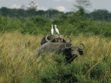 Two Cattle Egrets Stand Atop a Cape Buffalo