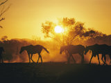 Horses Walk at Sunset