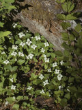 Bunchberry Flowers Blooming on Washingtons Olympic Peninsula