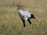 Secretary Bird