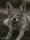 A Coyote Snarls in This Close View