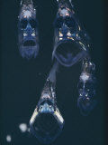 Close View of a Group of Hatchetfish