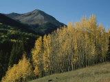 A View of Quaking Aspen Trees with Red Mountain in the Background