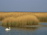 Mute Swan Swims Amongst Reeds in the Boddenland