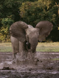 A Forest Elephant Runs Through Water