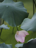 A Delicate Pink Blossom Adorns a Lotus Plant