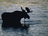 Moose Wading in a Kettle Lake  His Body Silhouetted against the Water