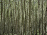 A Dense Forest of Skinny Birch Trees