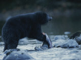 A Black Bear Feeds Itself on a Half-Eaten Salmon