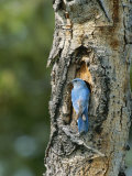 Mountain Bluebird at Nest on Tree Trunk