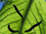 Close View of Banana Slugs Silhouetted Atop a Leaf